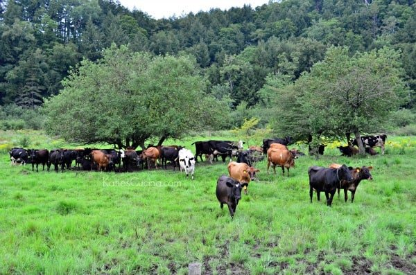 organic dairy cows grazing pasture