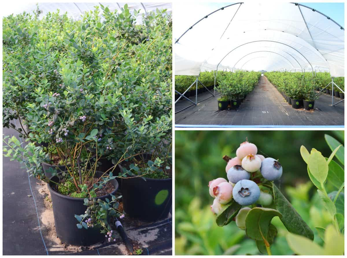 3 photo collage of Misty Organics Blueberry Farm with blueberry bushes up close and far away.