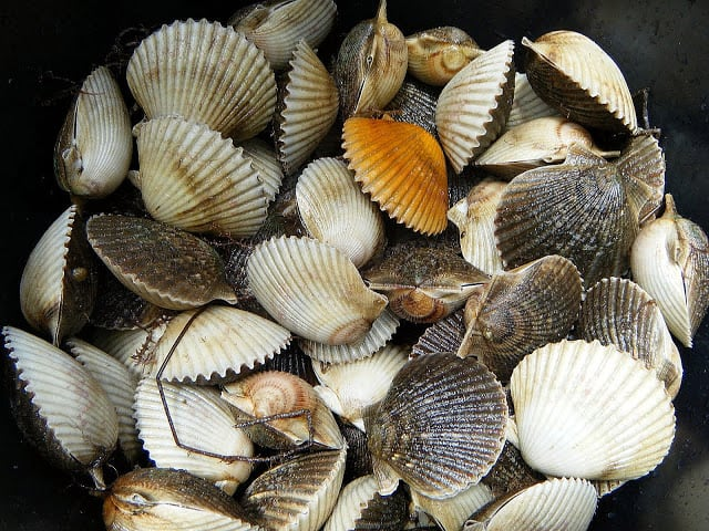 Close-up of inside of a bucket full on fresh scallops still in the shell.
