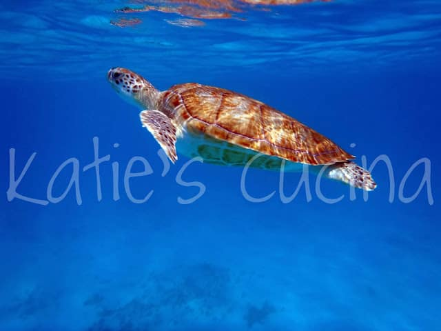 Large Sea Turtle floating near surface of brilliant blue water..